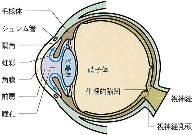 目の水平断面図